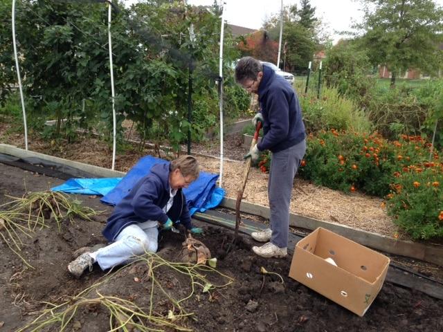 Harvesting in the church garden